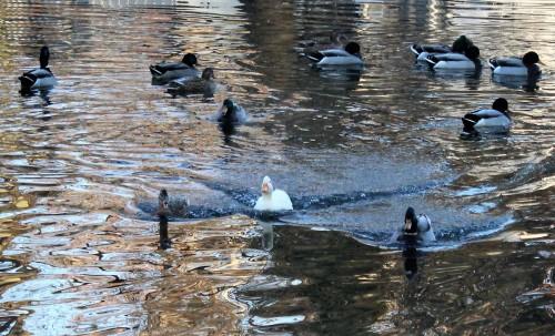 Ducks in Branson MO