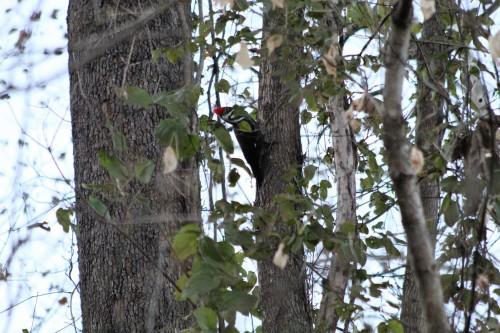 Woodpecker Branson MO