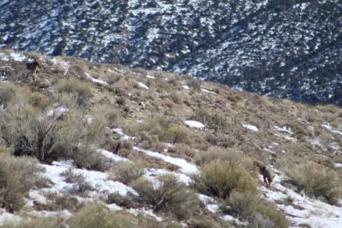 Coyotes, Colorado